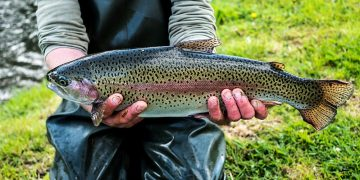 300 tons of Trout will be squandered