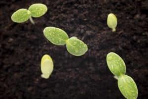 seeds grown young seedlings.